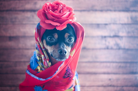 Dog with the red bandana and a rose on the head. Puppy in the form of Gypsy, Carmen, femme fatale