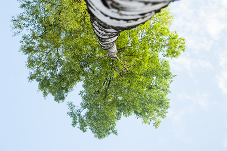 View of the crown of the birch from the bottom up, a panorama of the crown of a young, green tree, against the blue sky. The theme of growth, spring Stock Photo