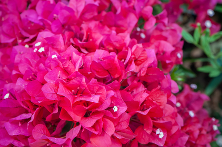 Bougainvillea, bardovo red flowers, texture, background Stock Photo