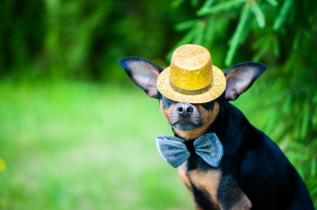 dog in a hat and a bow tie, an image of a magician, a circus artist, an artist. Natural green background, space for text Stock Photo
