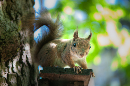 beautiful squirrel sits on a tree and holds a nutlet, a portrait of a close-up, a look at the camera