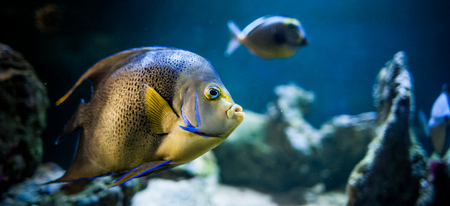 Pomacantbus asfur, arabian angelfish,  Fish swimming in the ocean, against a background of corals