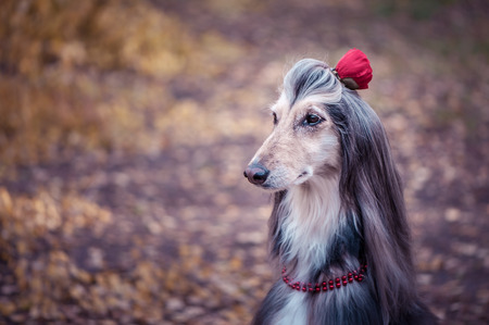 Dog, Afghan hound with a flower in a hair and beads, is stylish and fashionable. Dog Fashion Concept Standard-Bild
