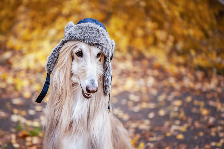 Dog, Afghan hound in a funny fur hat, against the background of the autumn forest. Concept clothes for animals, fashion for dogs Standard-Bild