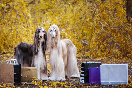 Two stylish Afghan hounds, dogs, with shopping bags on the background of the autumn forest. Concept Shopping  for animals, for dogs Standard-Bild