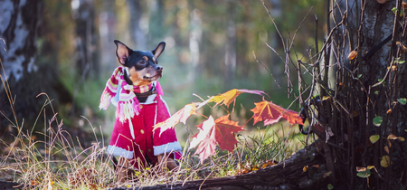 Dog, a toy terrier, a stylishly dressed little dog in a sweater and a sheepskin coat, against the backdrop of late autumn. Clothes for dogs. Stock Photo