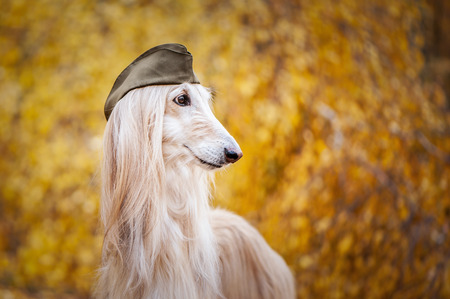 Dog, Afghan hound in a military cap, against the background of the autumn forest. Host protection concept, dog protector Standard-Bild