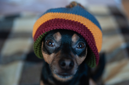 Cute puppy in a hat and blanket in the house. Clothing for dogs, care for animals in the cold season. Home comfort in winter and autumn Banque d'images