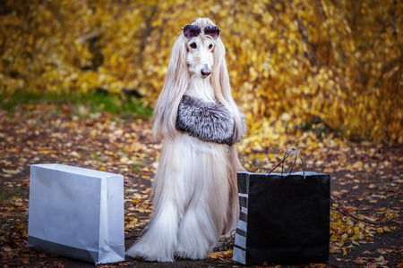 Stylish, fashionable dog,  Afghan hound in a fur Manto and sunglasses with shopping bags against the background of the autumn forest. Pet shopping concept for dogs Standard-Bild