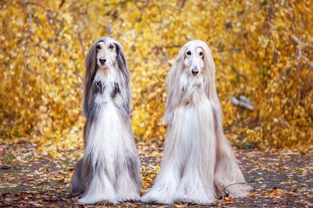Zwei Hunde, schöne afghanische Windhunde, Porträt, vor dem Hintergrund des Herbstwaldes, schauen in die Kamera. Standard-Bild