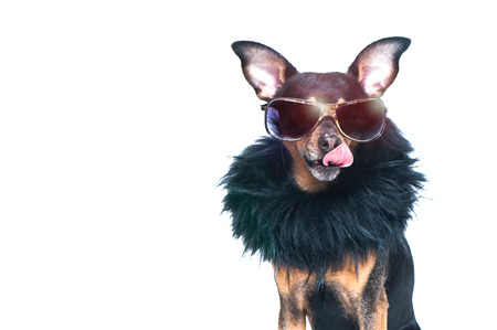 Stylish, chic dog  isolated , diva in a fur coat and glasses licked in anticipation of purchases and discounts. Fashion and shopping concept Imagens