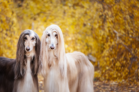 Two dogs, beautiful Afghan greyhounds, portrait, against the background of the autumn forest, are looking at the camera.