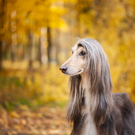 Dog, gorgeous Afghan hound, portrait, against the background of the autumn forest, space for text