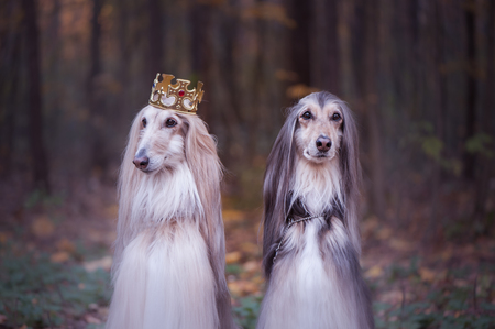 Dog in the crown,   afghan hounds ,  in royal clothes, on a natural background. Dog lord, prince, dog power theme Standard-Bild