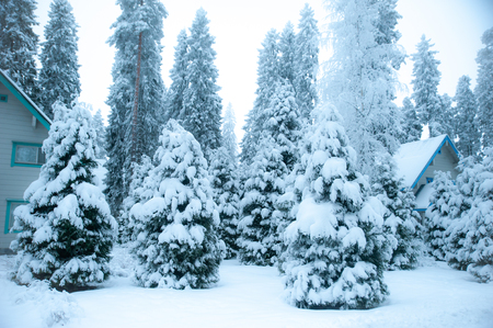Fabulous winter landscape, Christmas trees in the snow, cold, snowy winter Фото со стока