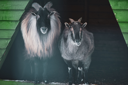 Cute  Male and Female  Himalayan tahr (Hemitragus jemlahicus) . Looking at camera. Funny photo of a pair of animals