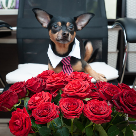 Stylish dog in a tie and a large bouquet of roses. Greeting card, Valentines day, birthday, love