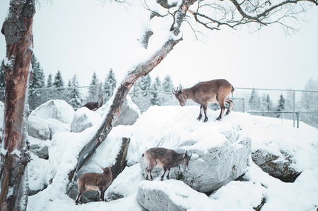 Dagestan tour, a group of animals galloping in the mountains on a natural winter background