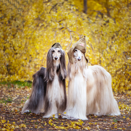 Two stylish Afghan hounds, dogs, in a military cap and field cap against the background of the autumn forest. Host protection concept, dog protector