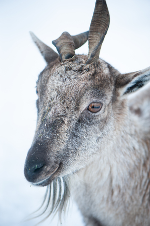 Markhor, Capra falconeri portrait on natural winter background, Baby with small horns