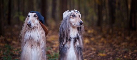 Dogs, Afghan hounds as teenagers, rappers. Dressed in stylish caps, the concept of youth fashion, clothes for dogs