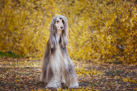 Dog, gorgeous Afghan hound, full-length portrait, against the background of the autumn forest, space for text