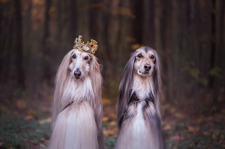 Dog in the crown,   afghan hounds ,  in royal clothes, on a natural background. Dog lord, prince, dog power theme 스톡 콘텐츠