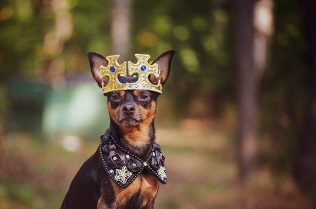 Dog in the crown, in royal clothes, on a natural background. Dog lord, prince, dog power theme
