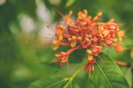 Colorful orange and yellow blooms of Saraca  indica , space for text Stock fotó