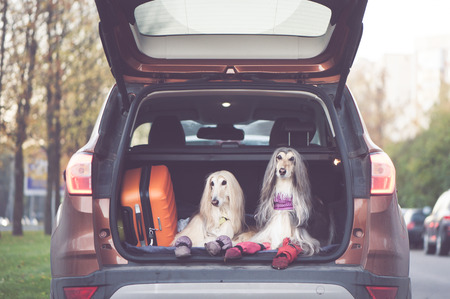 Two elegant Afghan hounds in the car, the concept of travel with animals, transportation of dogs. Dogs in the trunk of a car with suitcases and luggage