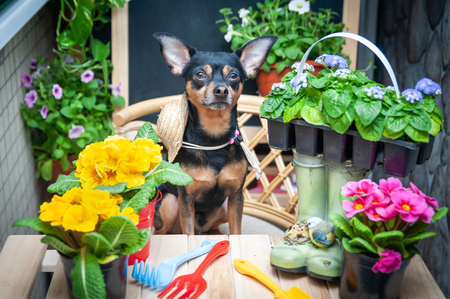 Dog Helper, pet surrounded by flowers and garden tools, the image of a gardener, florist. The concept of spring planting