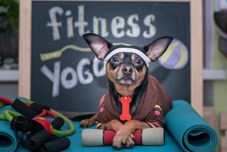 Pet Fitness , sport  and lifestyle concept.  Funny dog in sportswear in training, portrait  in studio surrounded by sports equipment Zdjęcie Seryjne