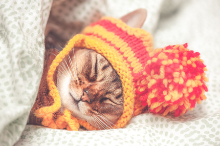 Portrait of a sleeping cat in a hat, the animal is sleeping, sick or relaxing. Abyssinian cat