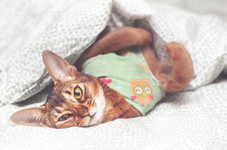 Abyssinian cat in a blanket after sterilization in bed is sick, looking at the camera