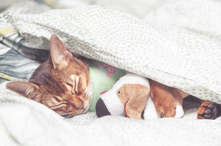 Gato abisinio en ropa de cama enfermo, durmiendo abrazando un juguete debajo de una manta
