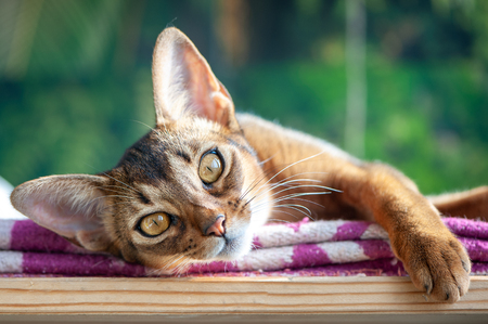 Beautiful Abyssinian cat on the  green jungle background, the association of the cat and the wild animal Stock Photo