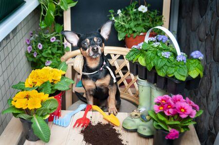 Pies sadzi kwiaty, zwierzak otoczony kwiatami i narzędziami ogrodniczymi, wizerunek ogrodnika, kwiaciarni. Koncepcja sadzenia wiosennego