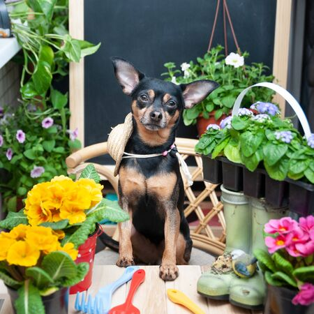 Dog surrounded by flowers and garden tools, an image of a gardener, a grower. The concept of spring planting