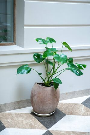Flower a monstera in a pot in an interior against the background of a wall