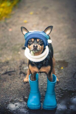 Concept d'automne et de pluie, chien drôle dans un chapeau bleu et des bottes en caoutchouc regardant vers le haut, orientation portrait