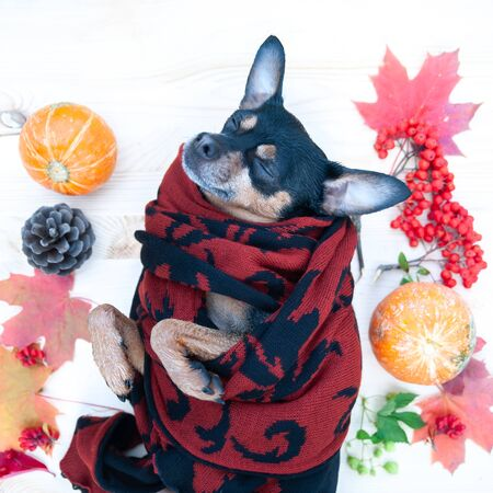 Cute dog in a scarf sleeps surrounded by autumn attributes, the theme of warmth and comfort in autumn