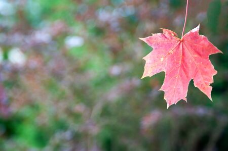 Autumn background in defocus,  Red maple leaf in the foreground , background for text on an autumn theme
