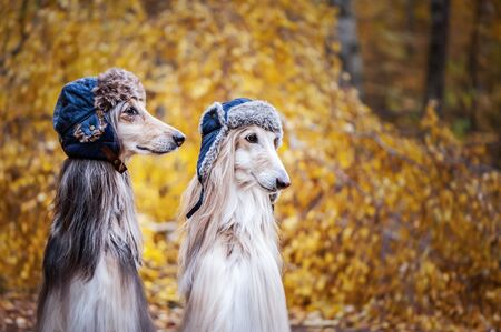 Two stylish Afghan hounds, dogs, in funny fur hats on the background of the autumn forest. Concept clothes for animals, fashion for dogs
