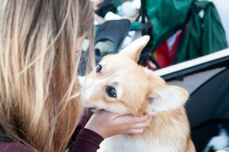 Very cute welsh corgi plays with the owner, looks at her faithfully