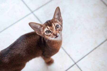 Beautiful  Abyssinian  kitten  Looks up, wants to play or eat, space for text