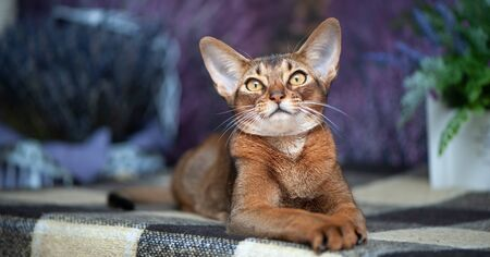 Very beautiful Abyssinian cat, kitten on the background of a lavender field, closeup portrait Imagens