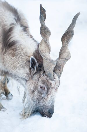 Markhor, Capra falconeri portrait on natural winter background, Male with big horns Imagens