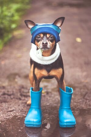 Very cute puppy, a dog in a hat and rubber boots is standing in a puddle and looking at the camera. Theme of rain and autumn Imagens