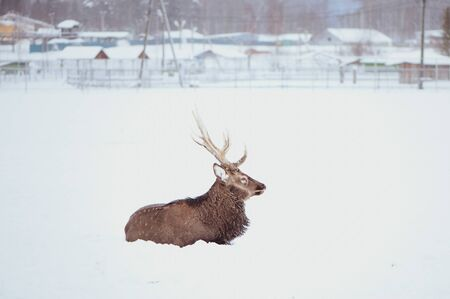Noble Sika deer ,  Cervus nippon, spotted deer ,  lying on the snow on a white background Imagens