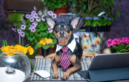 Theme of the remote work, a dog in a tie at the desktop in colors